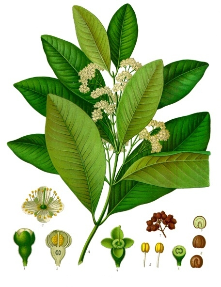 Producer of Allspice in Guatemala